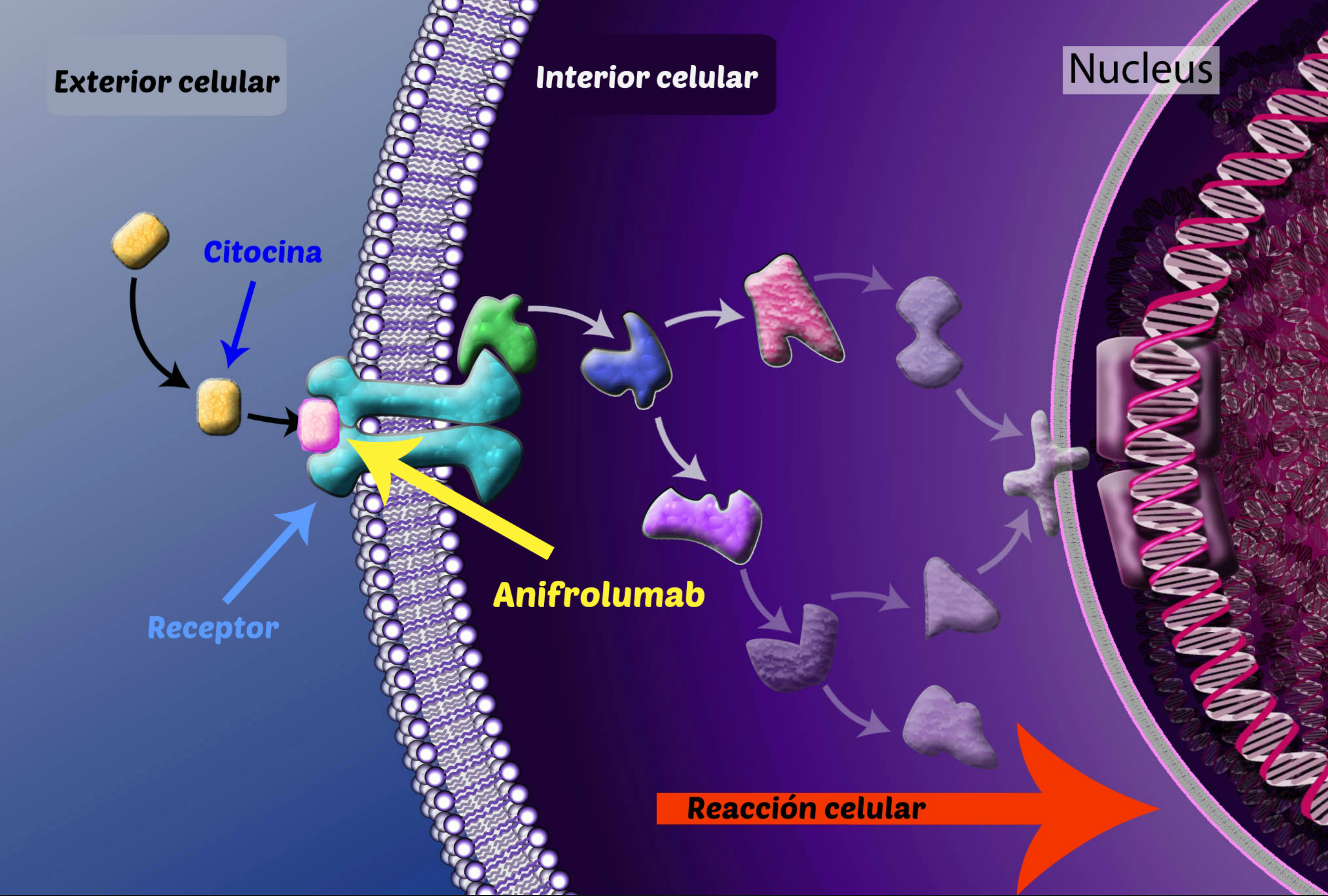 El anifrolumab bloqueará el receptor por el que las citocinas entrarían a las células, impidiendo su entrada.